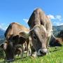 gallery/cows-cow-203460_640